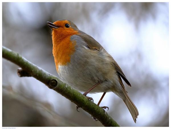 Robin2 by TT999