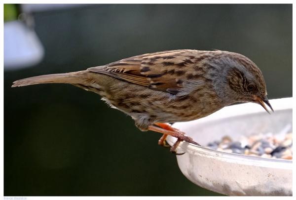 Reed Bunting Feeding by TT999