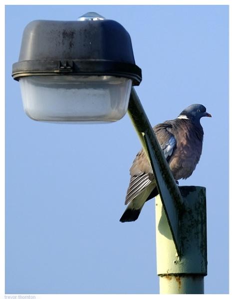 Pigeon Post by TT999