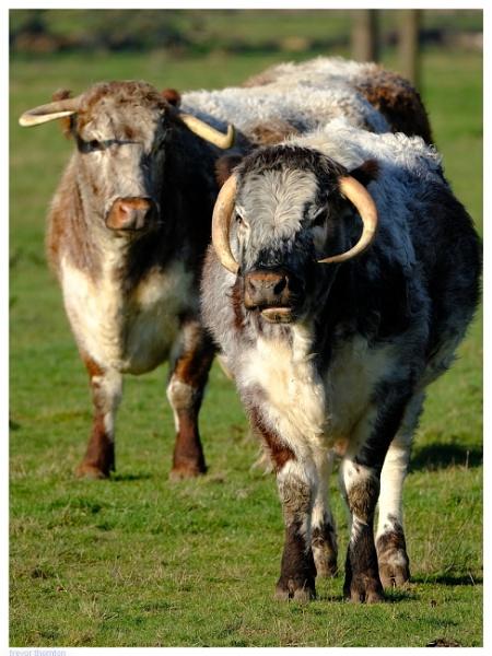 Long Horned Cattle by TT999