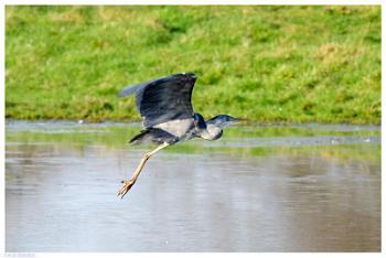 Heron Take Off