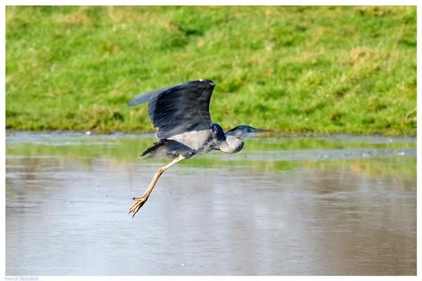 Heron Take Off by TT999