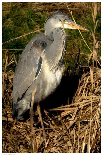 Heron by TT999
