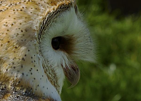 Barn Owl by terryxc