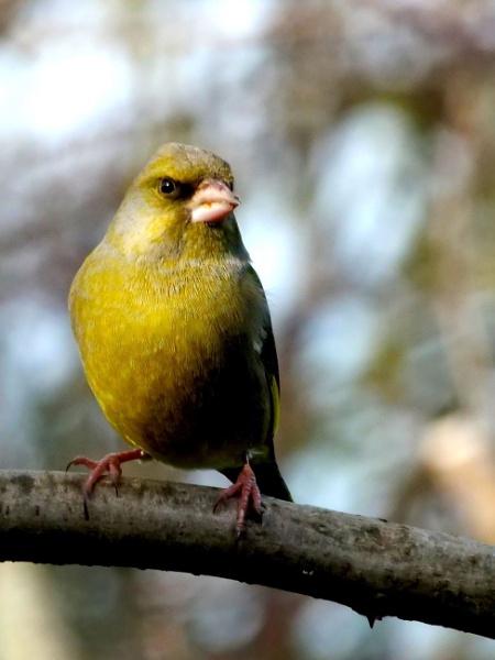 Greenfinch by DerekHollis