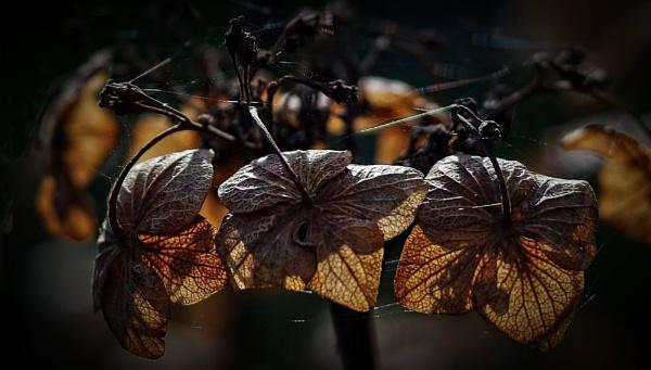 Hydrangea....... 3 by Mollycat