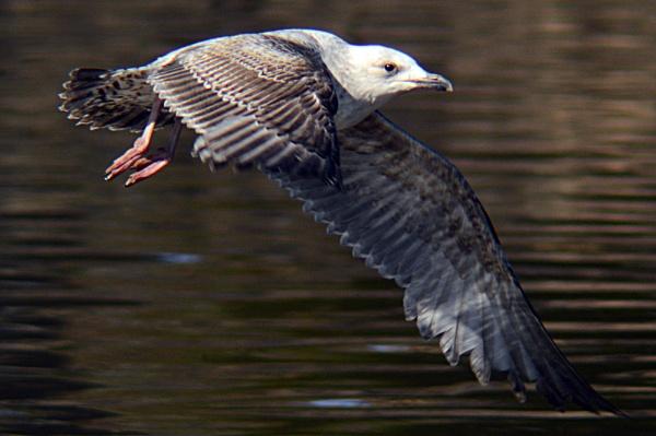 Gull in flight by onlythepony