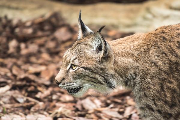 Lynx by Bp122