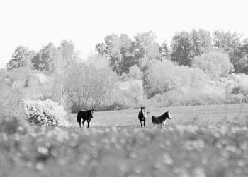 Horses in White