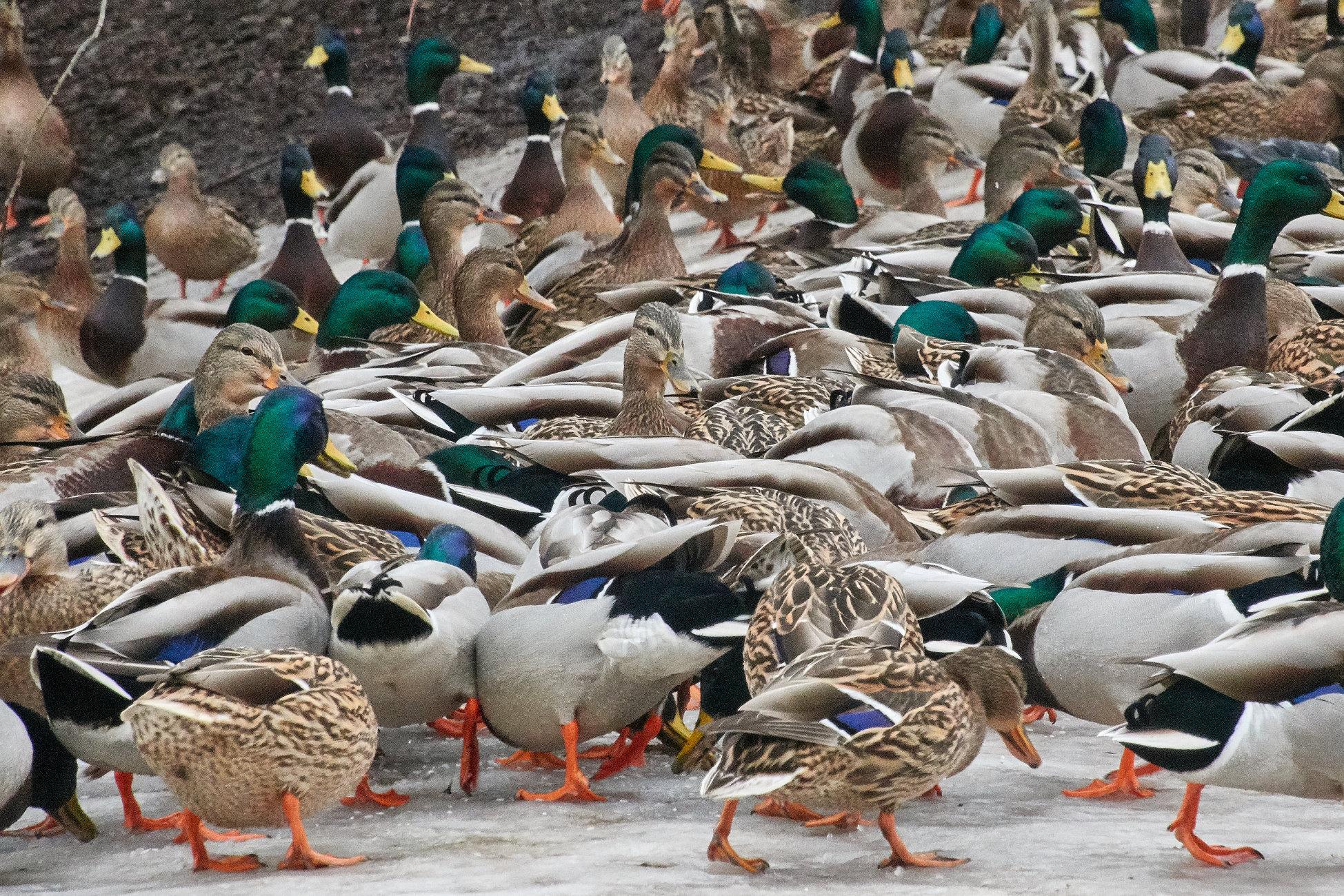 A flock of Mallard Ducks