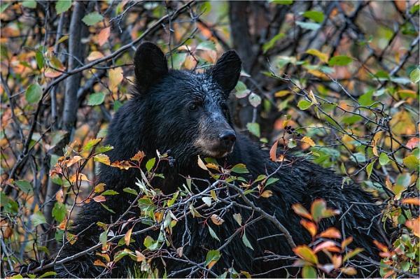 black bear by dven