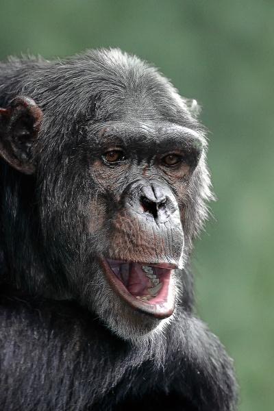 Chimp Portrait by Photografer
