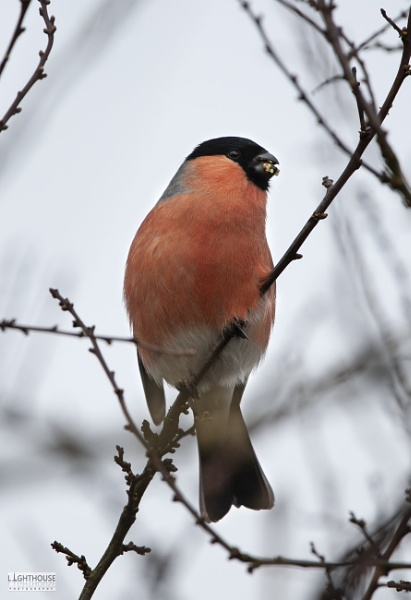 Bull Finch by LighthousePhotography