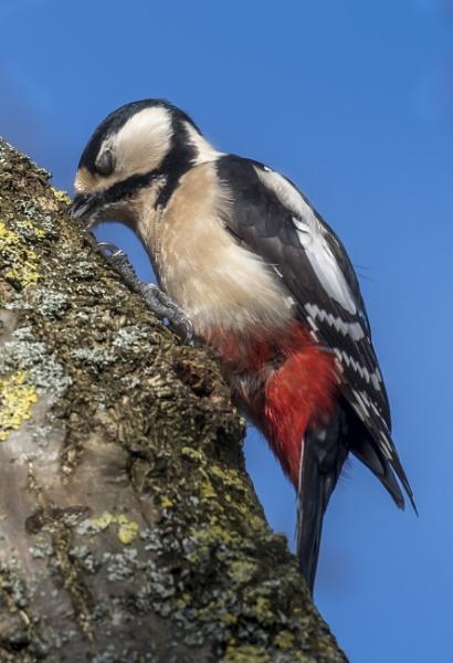 Woody woodpecker by gerti62
