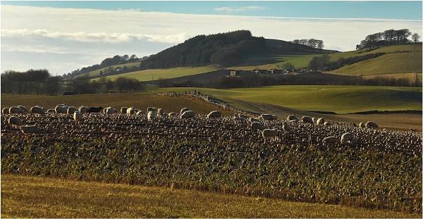 Sheep \'n\' Neeps by MalcolmM