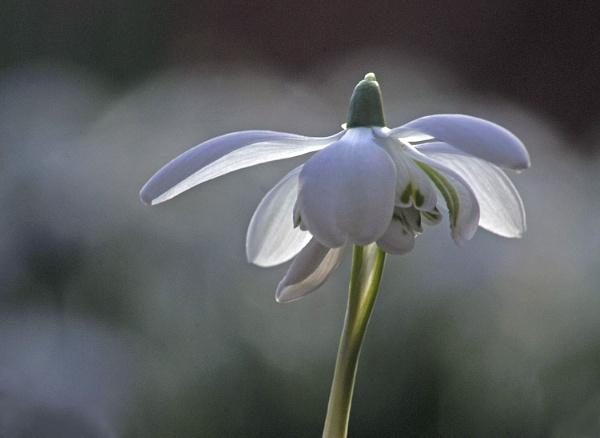 Snowdrop by viscostatic