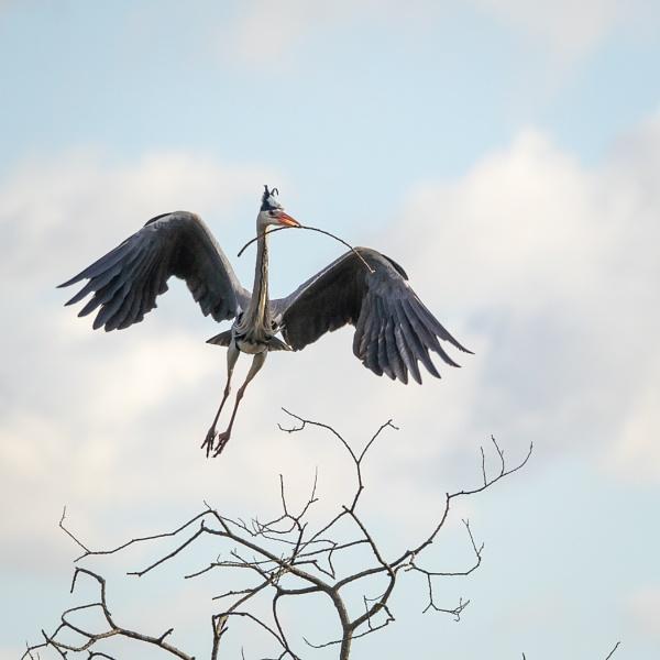 Nest building Grey Heron by barrywebb