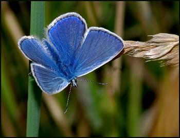 Common Blue Basking:-