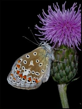 Common Blue(f) on a Thistle:-