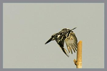 Pied king Fisher Taking Off