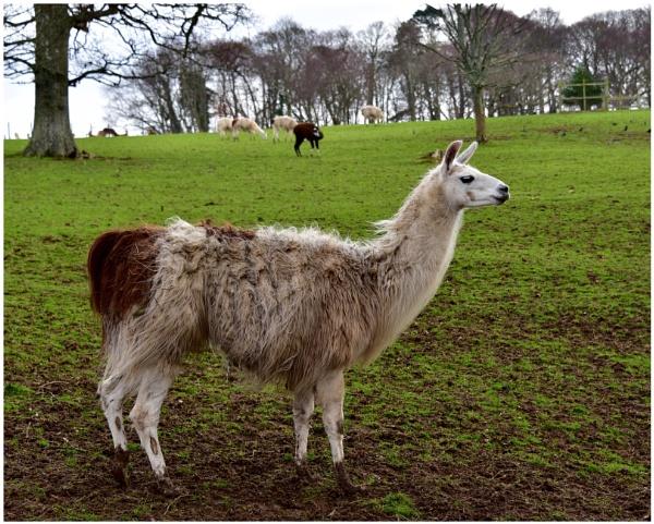 "\""Llamas at Culzean\"" by RonnieAG"