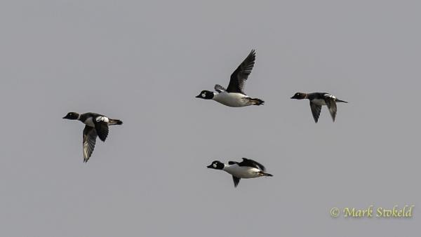 Goldeneye in flight by saltholme