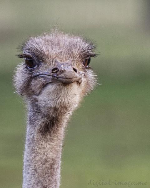 Ostrich by Alan_Baseley