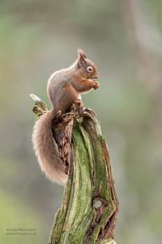 Red Squirrel 2019