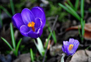 Springing  up  spring