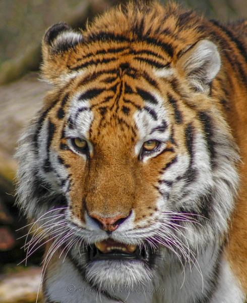 The Tigers Eye by interchelleamateurphotography