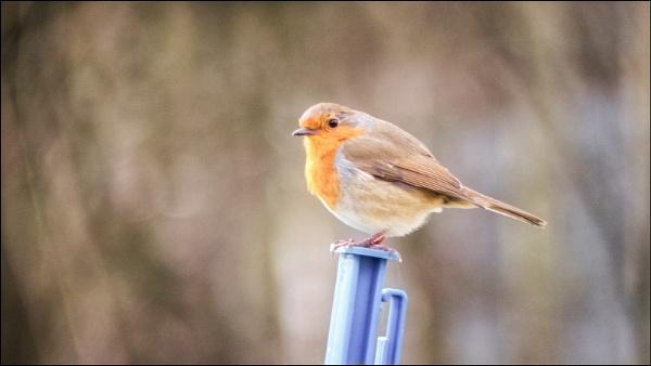 Little Robin by Kilmas