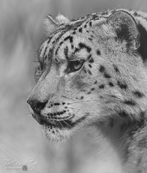 Snow Leopard. by MartinWait