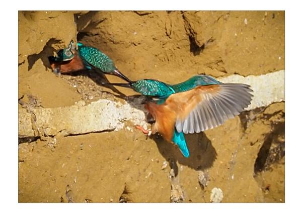 Hen Pecked by pauljt