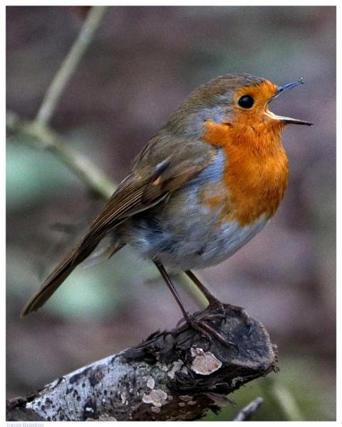 Robin Singing by TT999