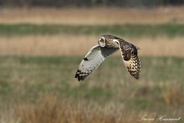 Short Eared Owl by trevrob
