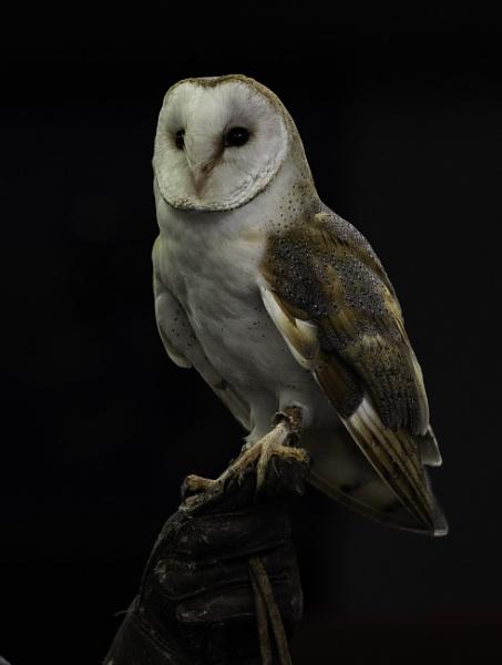 Barn Owl by 10delboy