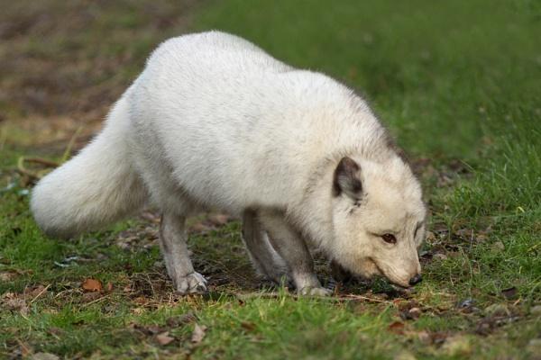 Arctic Fox by bobpaige1