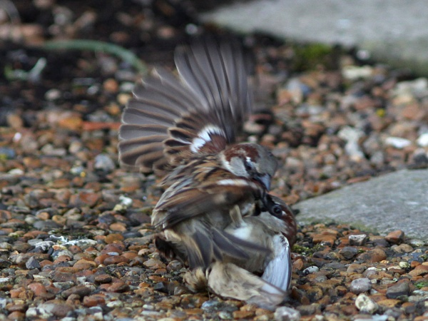 Sparrow Fight by bobpaige1