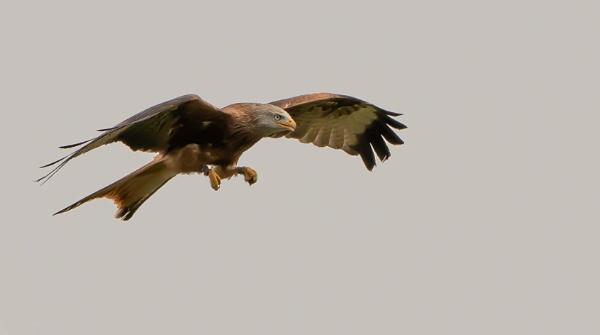 Red Kite by peterjay80