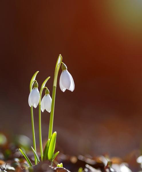 Snowdrops by tutye