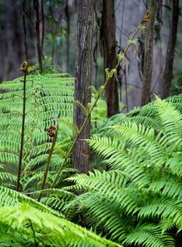 Tree Ferns, Waratah Valley, New South Wales