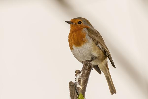 Resident robin by kip55