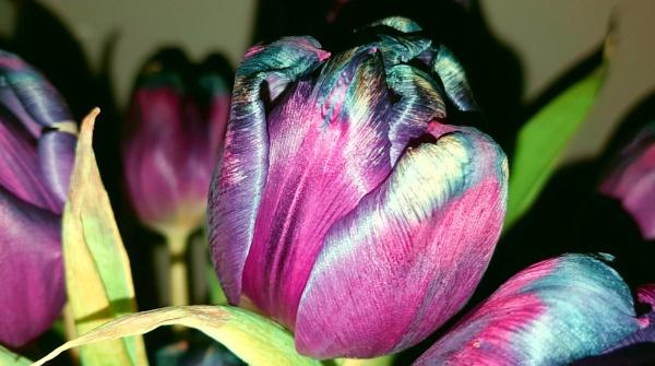 Funky tulip by KrazyKA