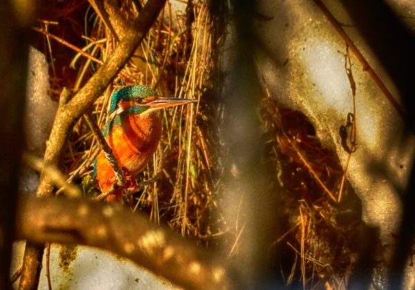 King fisher by hannukon