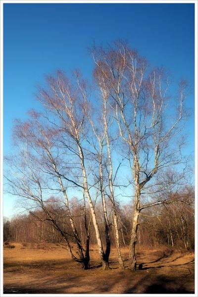 Winter Birches by kw