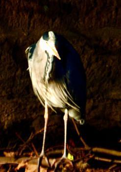 Heron at twilight