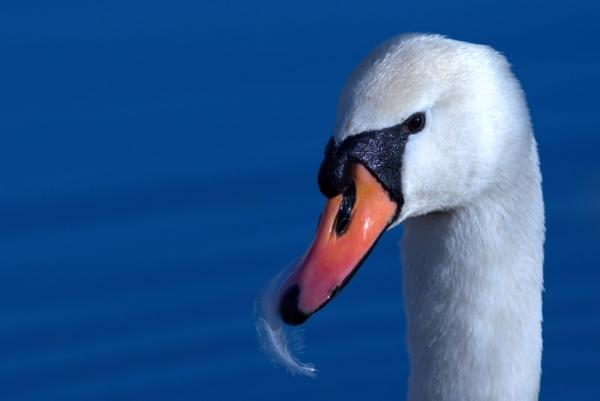 Mute Swan by rawshooter
