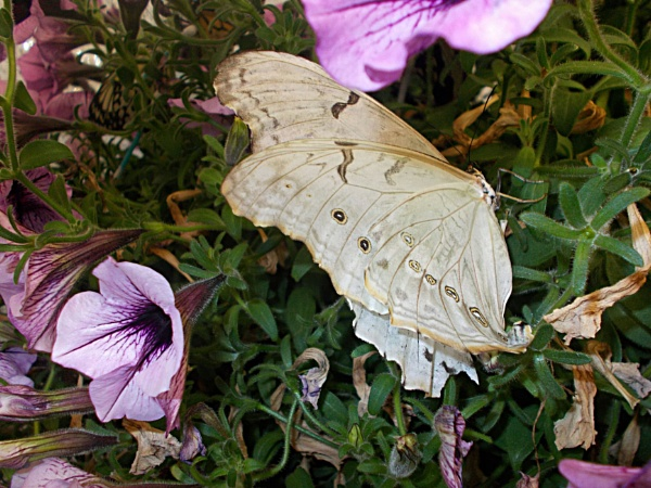 A White Butterfly. by Bar1826