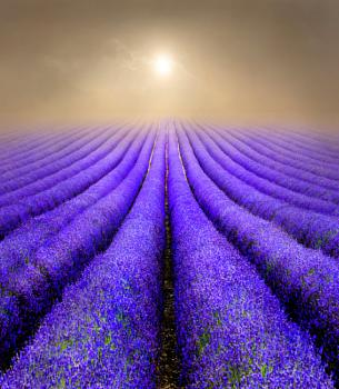 Lavender Fields at Sunrise