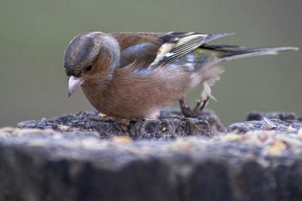 Peckish by sandwedge